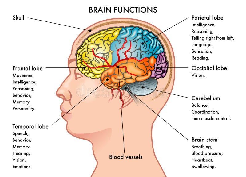 Hjärnfunktionsdiagram stock illustrationer