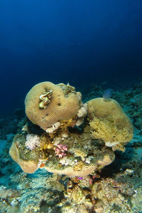 Hjärnkorall inom korallträdgården arkivfoto