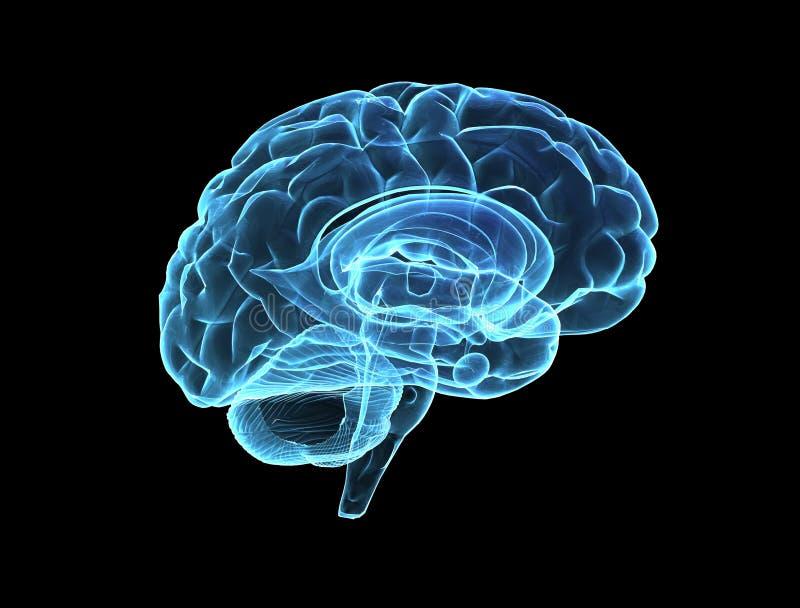hjärnmodell vektor illustrationer
