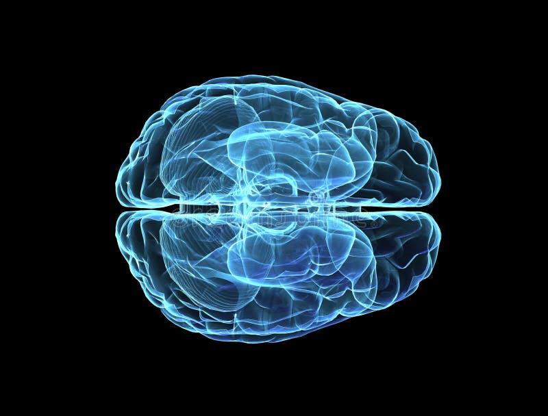 hjärnmodell stock illustrationer
