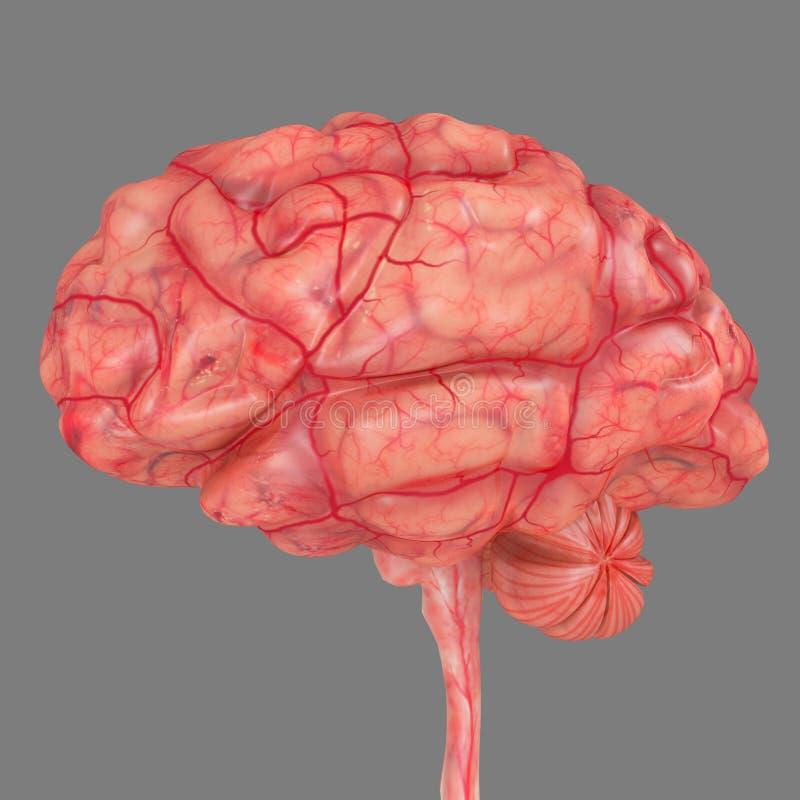 Hjärnsida royaltyfri illustrationer