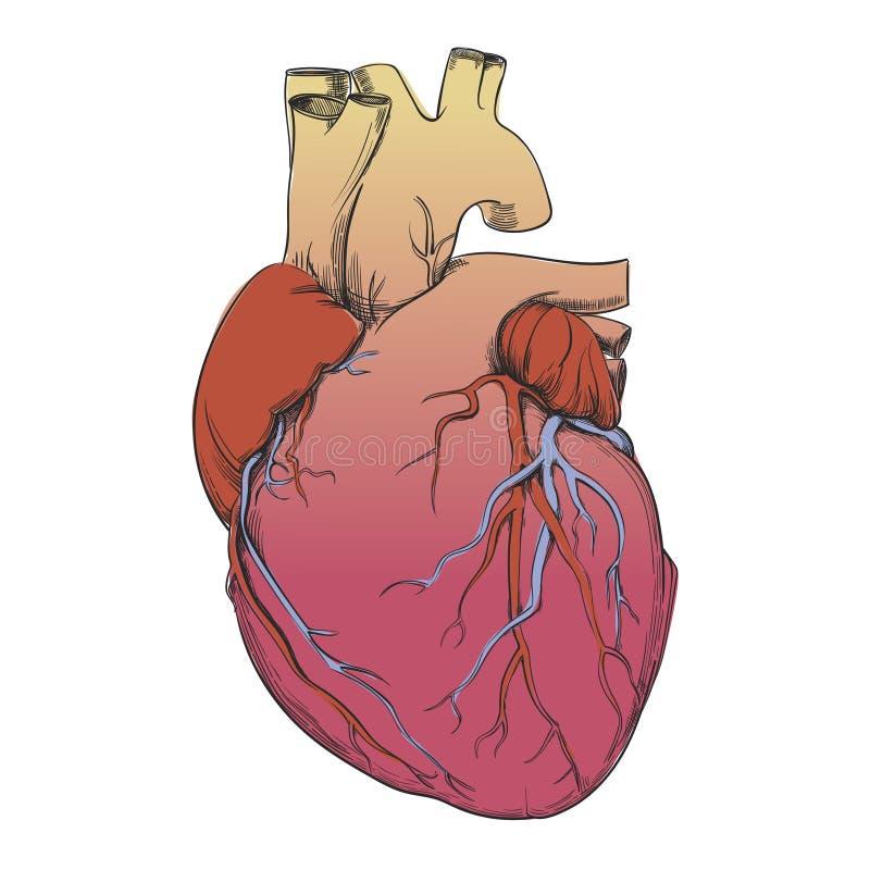 Hjärta - anatomibild vektor illustrationer