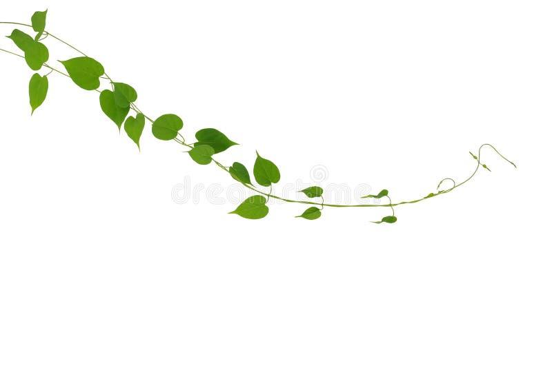 Hjärta formad grön växt för bladklättringvinrankor som isoleras på vit b arkivfoton