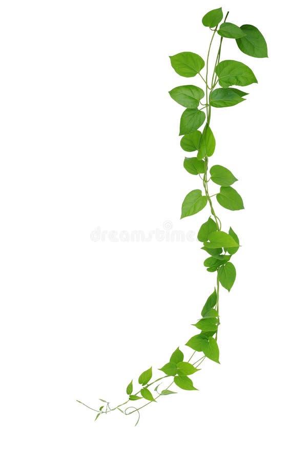 Hjärta formade gröna bladvinrankor som isoleras på vit bakgrund, gem arkivbilder