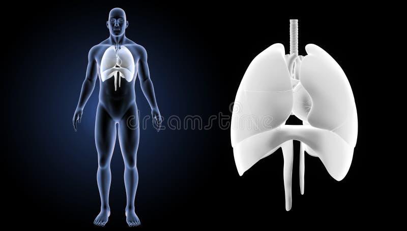 Hjärta, lungor och membranen zoomar med föregående sikt för kropp royaltyfri illustrationer