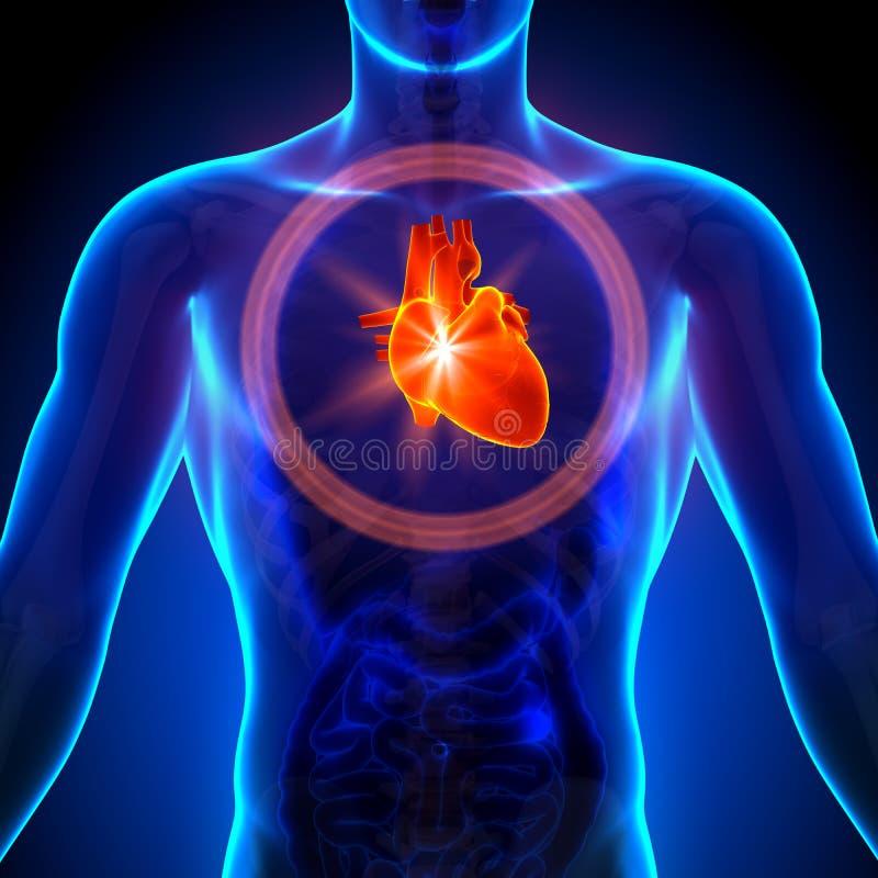 Hjärta - manlig anatomi av mänskliga organ - röntgenstrålesikt stock illustrationer