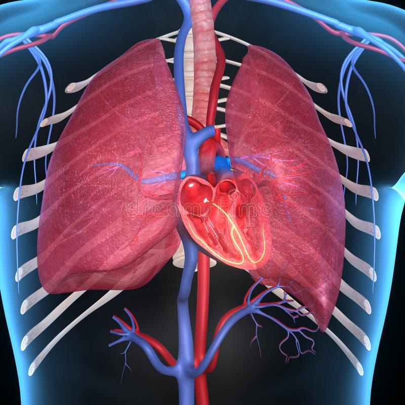 Hjärta med lungor royaltyfri illustrationer