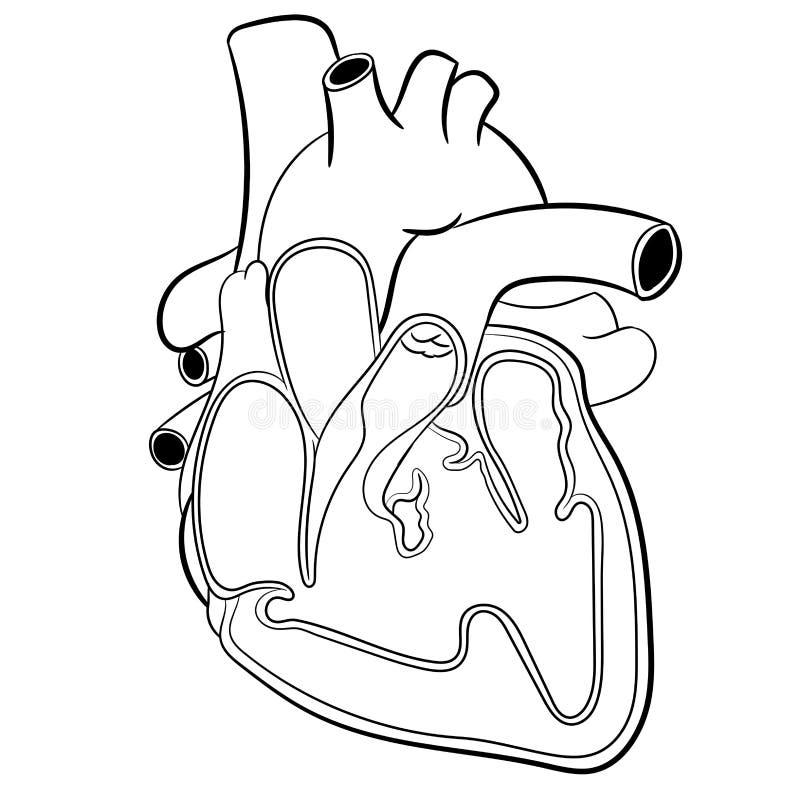 HjärtaAnatomi-vektor illustration vektor illustrationer