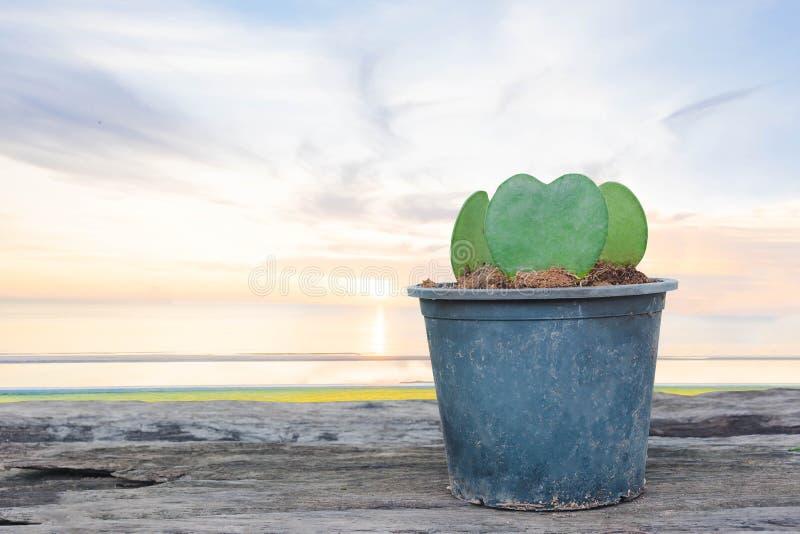 Hjärtaform av kaktusväxten i kruka royaltyfri fotografi