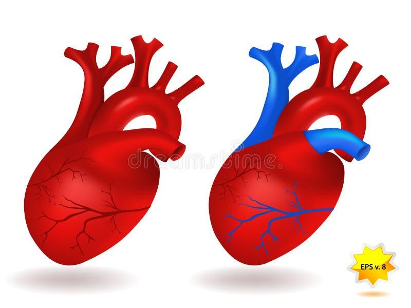 hjärtahumanmodell stock illustrationer