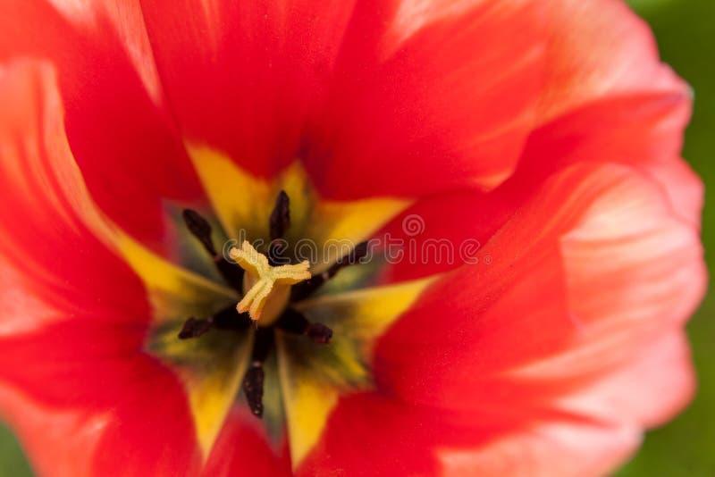 Hjärtan av en härlig röd tulpan arkivbilder