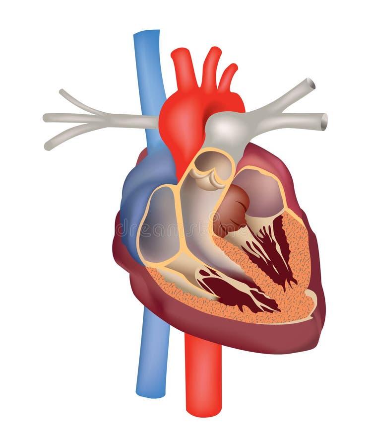 Hjärtastrukturanatomi. Hjärtatvärsnitt. stock illustrationer