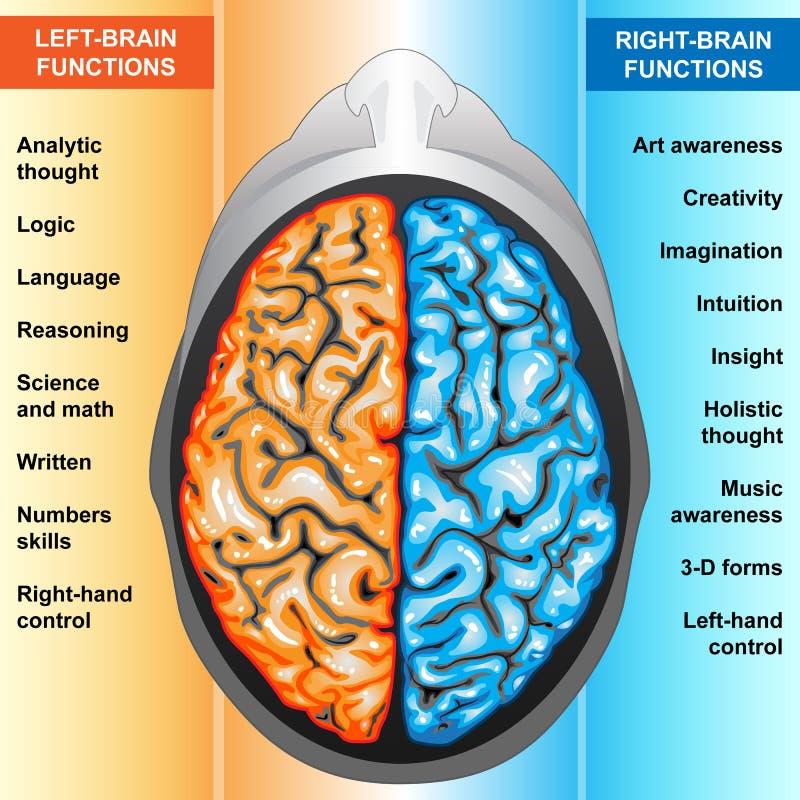 hjärnan fungerar mänskligt vänstert höger sida royaltyfri illustrationer