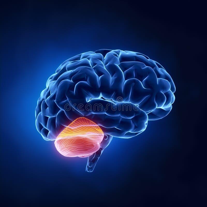 hjärncerebellumdel vektor illustrationer