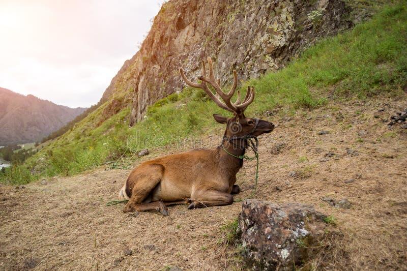 Hjort som är maral med stora horn, ligger på ett berg som binds med en tygel arkivfoton
