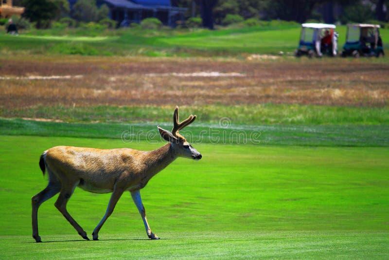 Hjortar går golfbanan arkivfoto