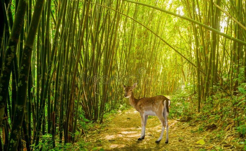 Hjortar i bambuskog arkivfoton