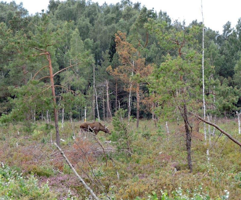 Hjortar i det Aukstumalos träsket, Litauen arkivbilder