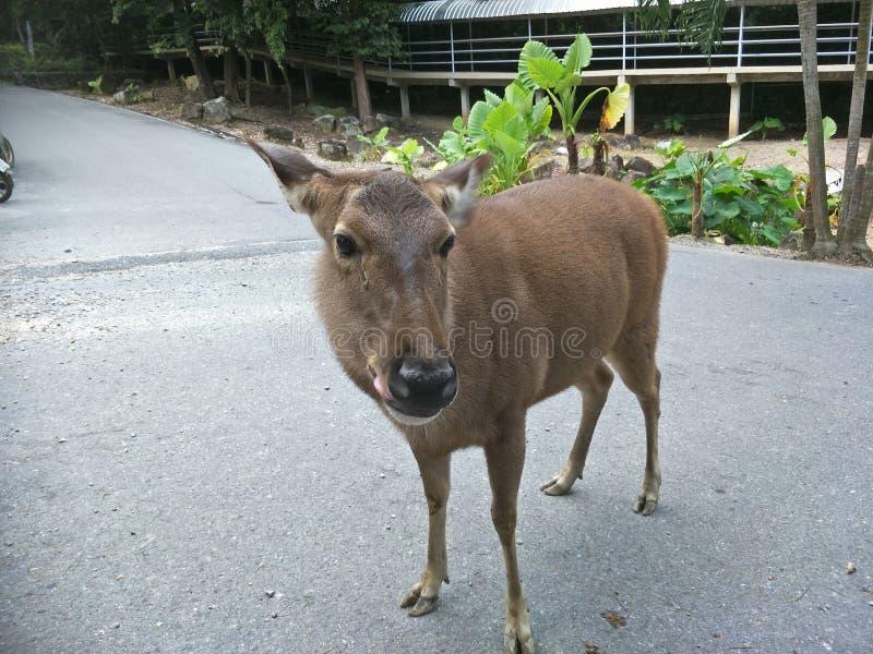 Hjortar i en zoo royaltyfria bilder