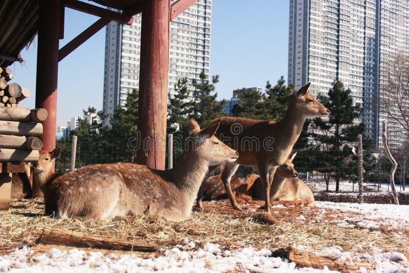 Hjortar i en zoo i ett Central Park av Incheon, Korea royaltyfri foto