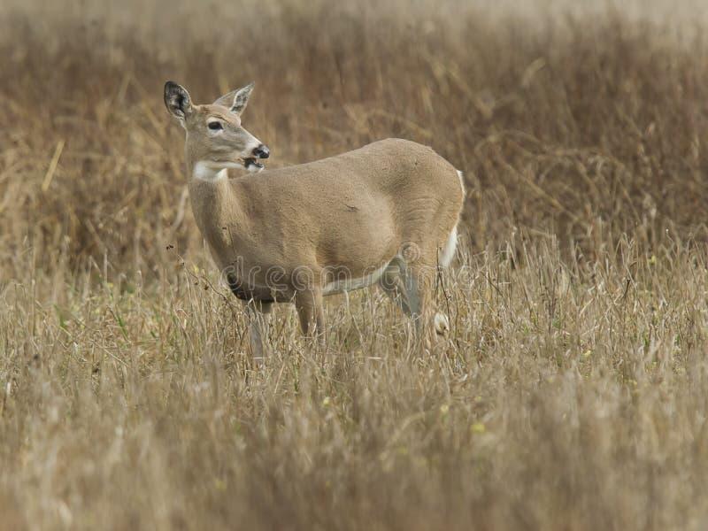 Hjortar i fristaden arkivfoto