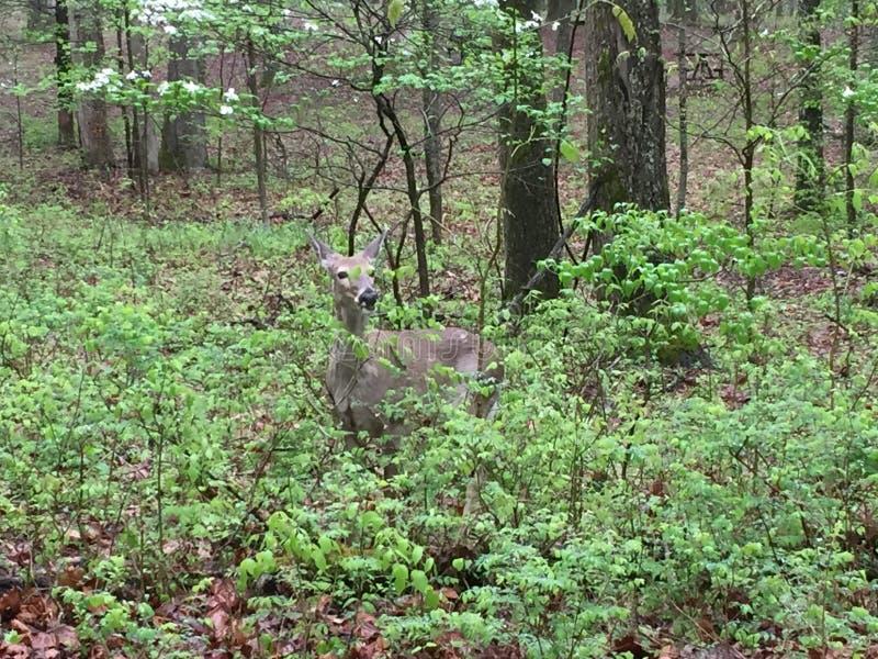 Hjortar i lätt skogsbevuxet område som äter sidor, som andra står närliggande royaltyfri foto