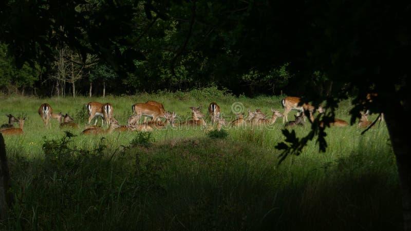 Hjortar i löst dölja i träden arkivfoton
