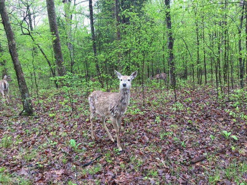 Hjortar i l?tt skogsbevuxet omr?de som ?ter sidor, som andra st?r n?rliggande arkivbilder