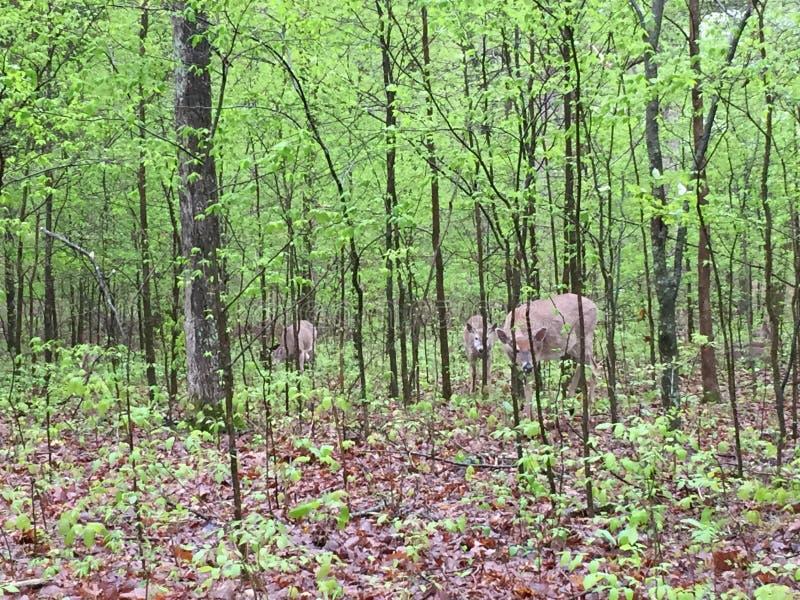 Hjortar i l?tt skogsbevuxet omr?de som ?ter sidor, som andra st?r n?rliggande royaltyfri bild