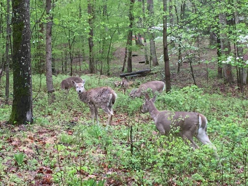 Hjortar i l?tt skogsbevuxet omr?de som ?ter sidor, som andra st?r n?rliggande royaltyfria bilder