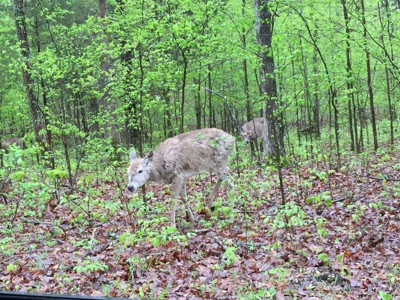 Hjortar i l?tt skogsbevuxet omr?de som ?ter sidor, som andra st?r n?rliggande fotografering för bildbyråer