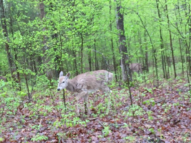 Hjortar i l?tt skogsbevuxet omr?de som ?ter sidor, som andra st?r n?rliggande arkivfoton