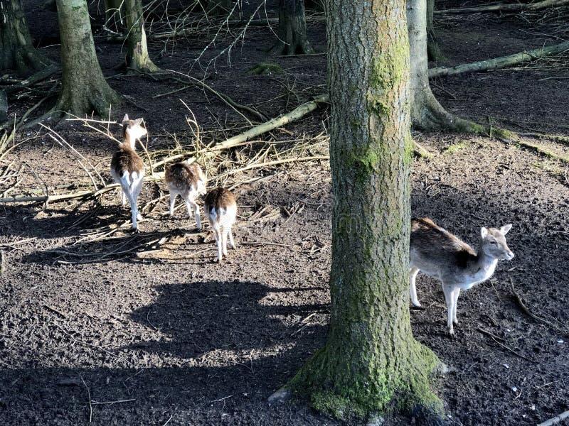 Hjortar i parkera fotografering för bildbyråer