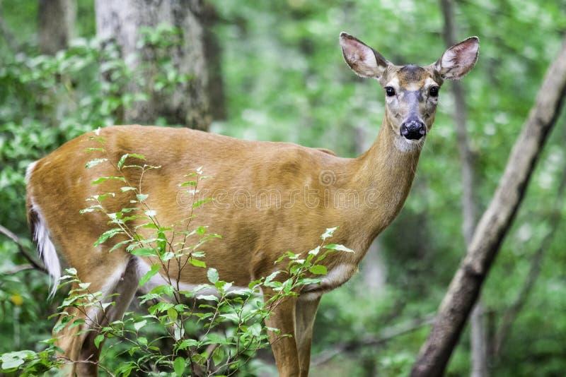 Hjortar i skogen royaltyfri fotografi