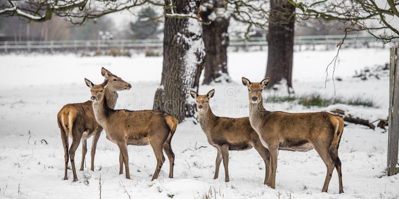 Hjortar i vinter arkivfoto
