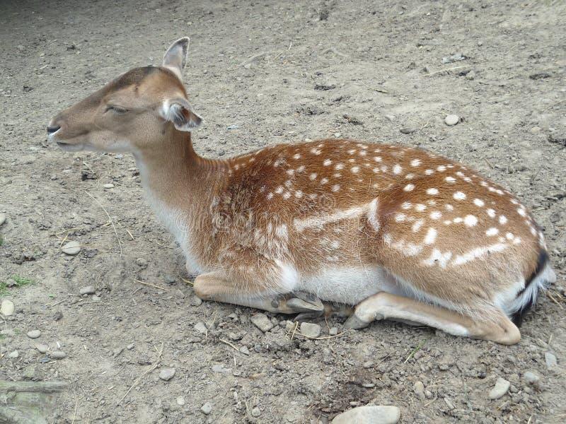 Hjortar i zoo royaltyfria foton
