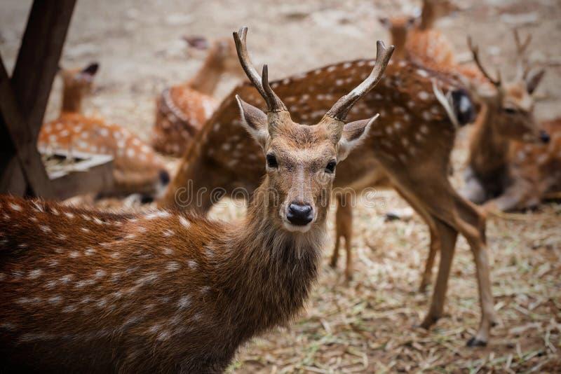 hjortar med den horn- och vita fläcken fotografering för bildbyråer