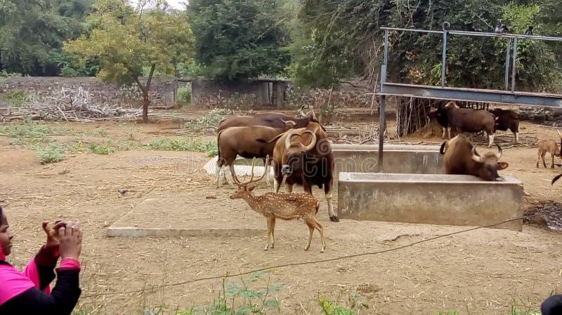 Hjortar med den lösa buffeln royaltyfria foton