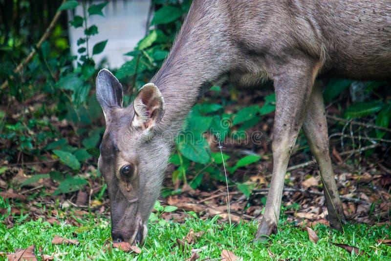 Hjortar på den Khao Yai nationalparken fotografering för bildbyråer
