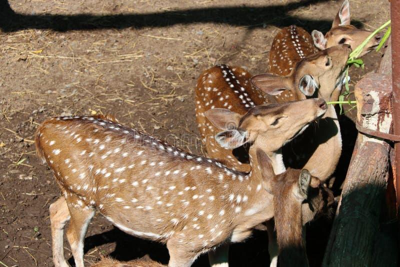 Hjortar på solljuset och ätamaten, morgonhärlighet royaltyfri foto