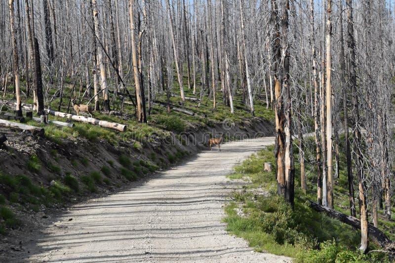Hjortar på vägen i skog efter löpeld royaltyfria bilder