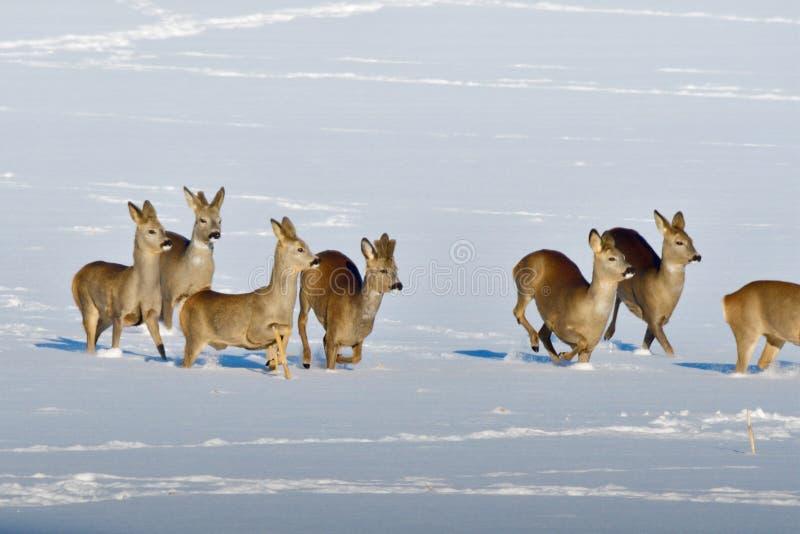 hjortar samlas röd vinter arkivfoto