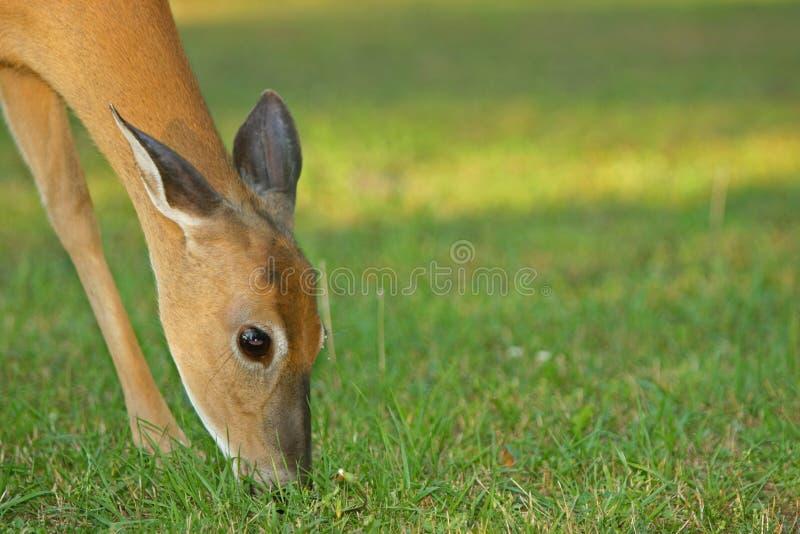 hjortar som äter whitetailen royaltyfria foton