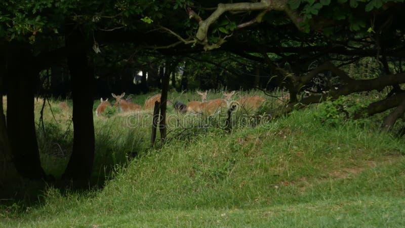 Hjortar som döljer i det långa gräset i en engelsk skog royaltyfria bilder