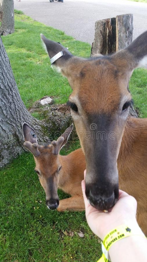Hjortar som daltar zoo royaltyfri bild