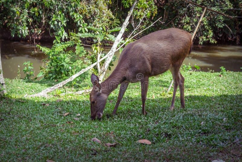 Hjortar som naturligt bor i den Khao Yai nationalparken royaltyfri fotografi