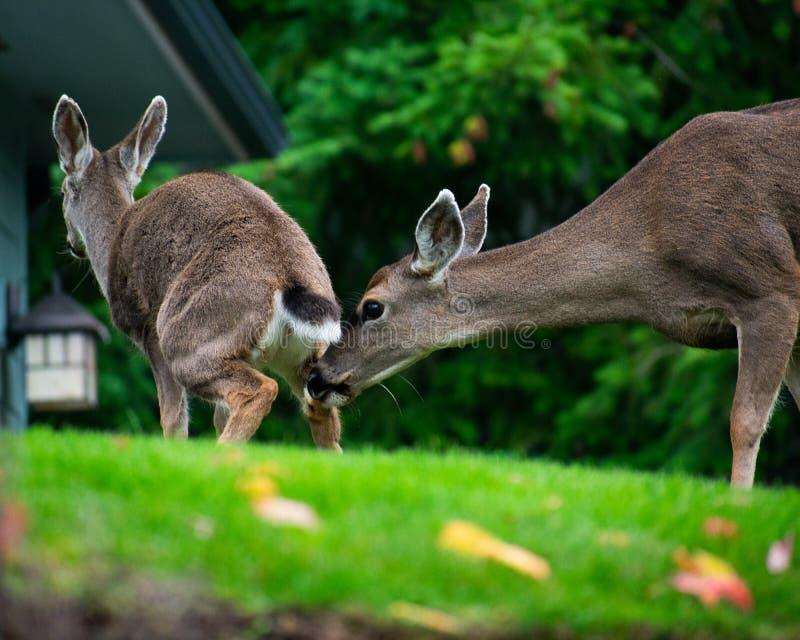 Hjortar som sniffar en andra deers, knuffar royaltyfri fotografi