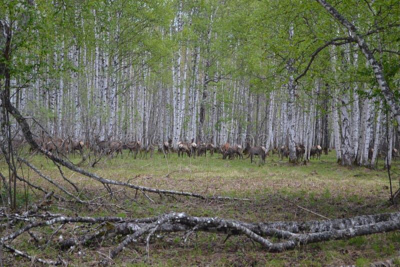 Hjortar Ural berg som jagar lantgården av Unkurd arkivfoton