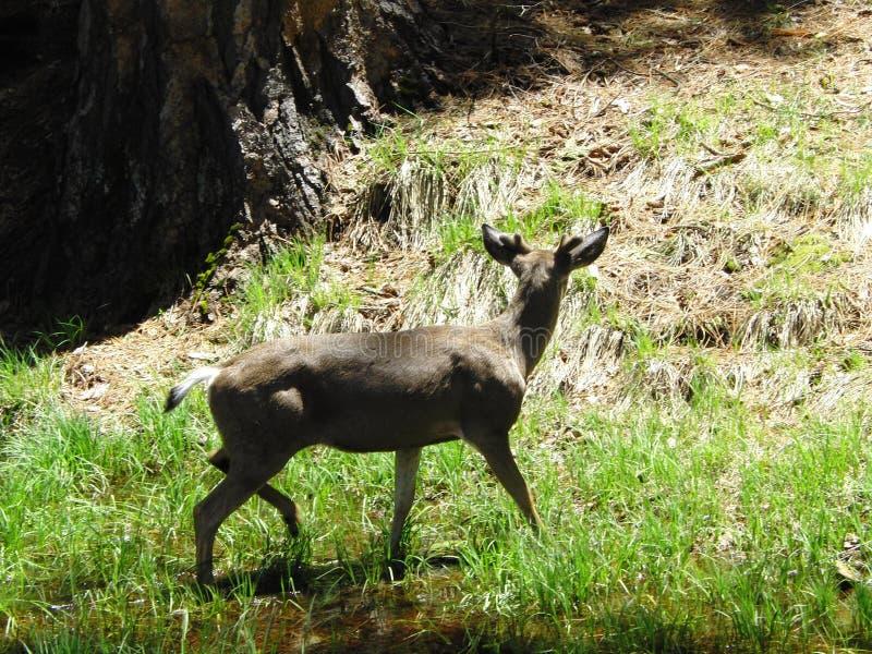Hjortarna i den Yosemite dalen royaltyfri fotografi
