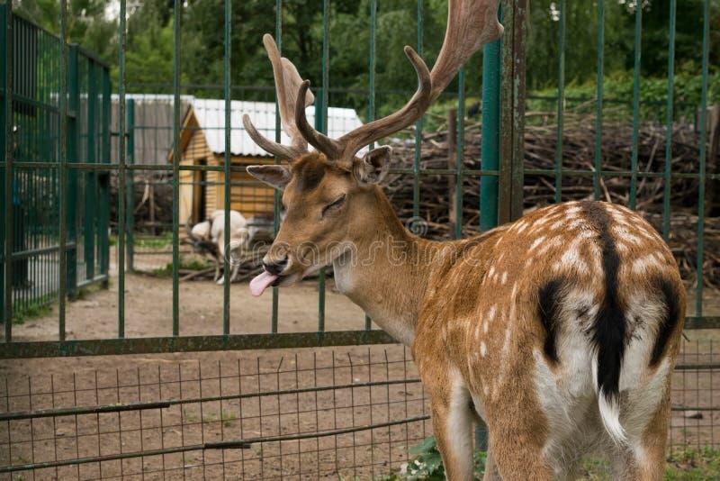 Hjortarna som visade språk royaltyfri fotografi